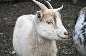picture of pygmy goat  - A little white pygmy goat with blue eyes - JPG