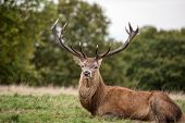 pic of cervus elaphus  - Red deer stag during rutting season in forest - JPG