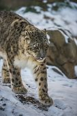 stock photo of panthera uncia  - Beautiful Snow Leopard on a snow covered rocks - JPG