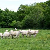 foto of charolais  - A herd of Charolais cows in a lush green pasture - JPG