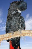 image of cockatoos  - beautiful black cockatoo with a sky background - JPG