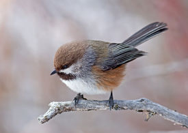 picture of chickadee  - A Boreal Chickadee looks for food in a coniferous forest during a cold Canadian winter - JPG