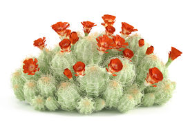 pic of peyote  - Plant bush - JPG