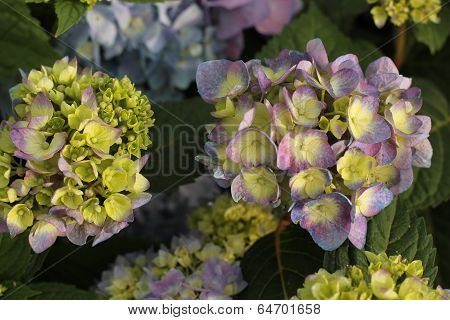 close up of bed of hydrangeas in morning
