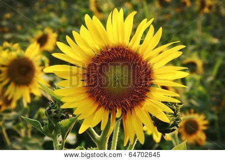 The Big Sunflower In Garden