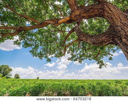 Tree In Cassava Field