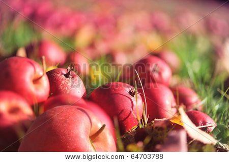 Apples lies on grass