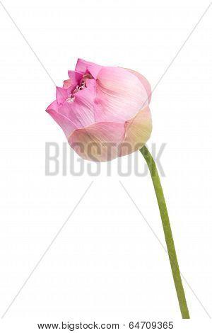Nelumbo nucifera lotus isolated on a White Background