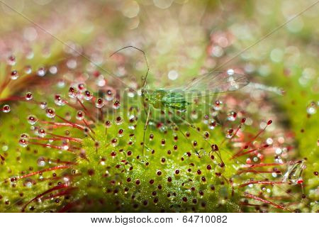 Green-fly Prey