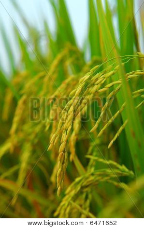 rice field and drops
