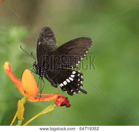 butterfly on the blooming flower - Papilio polytes polytes Linnaeus