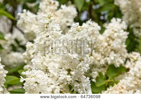 twig blossoming lilac