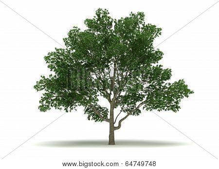 Single Magnolia Tree