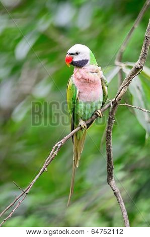 Male Red-breasted Parakeet
