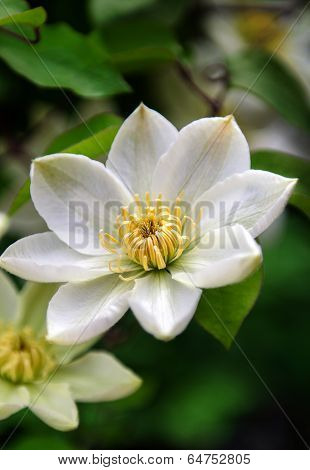 White Clematis Close Up