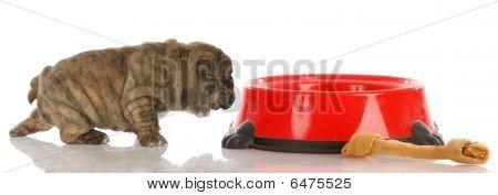 Bulldog Puppy Coming To Food Dish