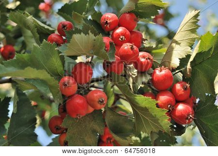 Rowanberry By Autumn