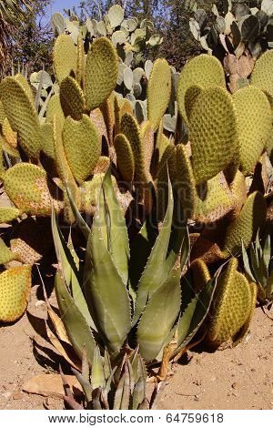 Agave And Sabra Prickly Pear Cactus