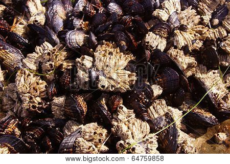 Background Of Mussels And Barnacles Exposed At Low Tide