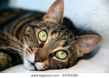 Egyptian Mau cat - big eyes