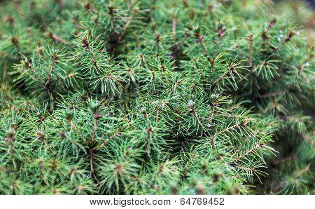 Evergreen Juniper Branches