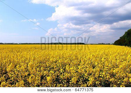 yellow rapeseed
