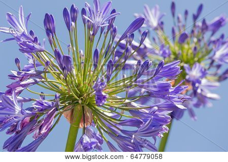 Macro View Of Purple Agapanthus Against A Blue Sky