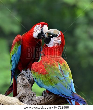 Best Shot Of Kissing Sweet Macaw, Green-winged Macaw, Red Green Blue Macaw