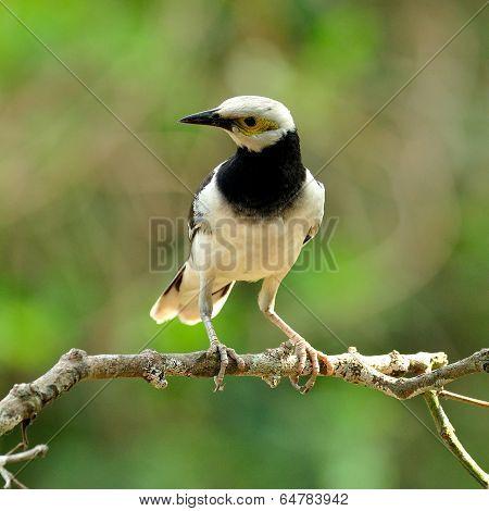 Black-collared Starling Bird (sturnus Nigricollis) Standing On The Branch