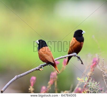 Black-headed Munia Bird Or Chestnut Munia Perching On The Brach With Nice Pink Flower Around
