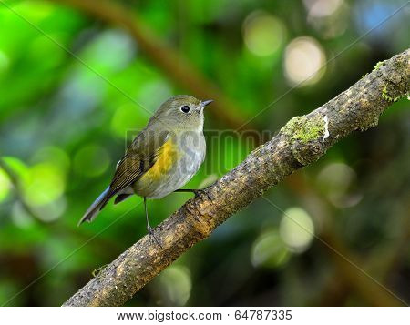 Female Of Beautiful Blue Bird Orange-flanked Bush Robin (tarsiger Rufilatus) Or So Called Himalayan