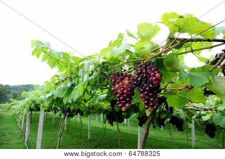 Grape In Wine Yard, Fresh Grape Fuits
