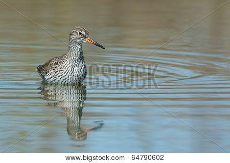 A Common Redshank (tringa Totanus) Wading In Deep Water