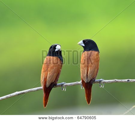 Pair Of Black-headed Munia Bird Perching Together On The Branch With Clear Green Background