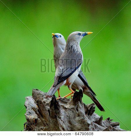 Pair Of Chestnut-tailed Starling (sturnus Malabaricus) Love Birds