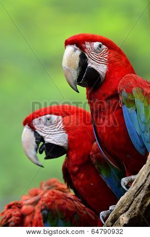 Red Macaw, Green-winged Macaw, Green Wing Macaw, Red Macaws In Lovely Moment