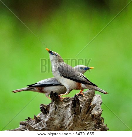 Sweet Birds with Pair of Chestnut-tailed Starling (Sturnus malabaricus)