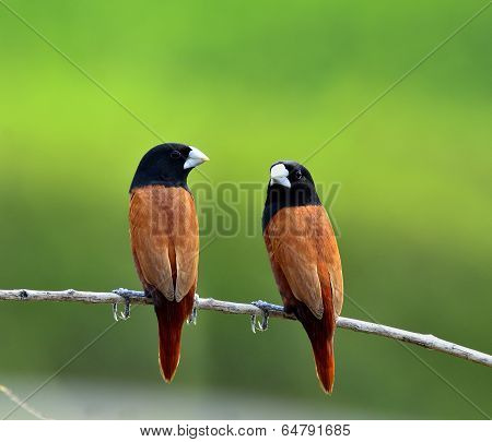 Sweet Pair of Black-headed Munia bird perching together on the branch with clear green background