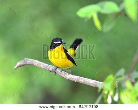 Yellow-rumped Flycatcher Bird (ficedula Zathopygia) With Yellow Feathers On Chest And Nice Tail Up