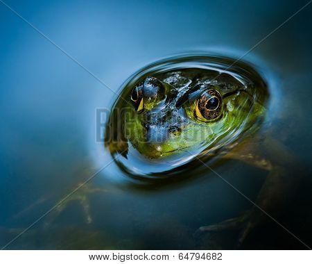 Curious Bullfrog