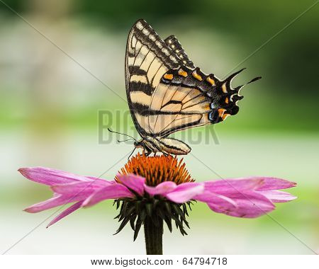 Tiger Swallowtail On Coneflower