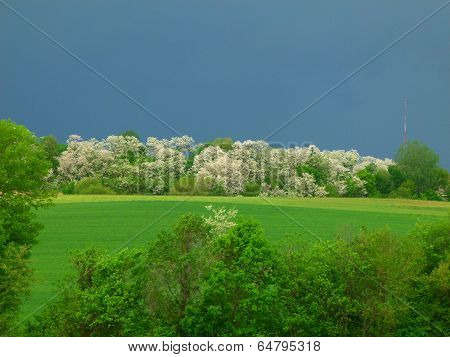 Locust Trees In Bloom