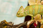 pic of terrarium  - chameleon in a terrarium with orchid flowers - JPG
