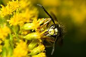 stock photo of hornets  - An extreme closeup of a bald-faced hornet feeding from small yellow flowers.