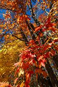 picture of canada maple leaf  - Fall maple trees with red and orange leaves in autumn forest - JPG