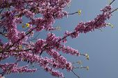 stock photo of judas  - Judas tree leaves and flowers in the park - JPG