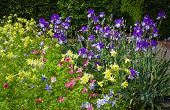 stock photo of columbine  - Spring fowerbed of Yellow Columbine and Purple Iris Plants - JPG