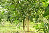 foto of avocado tree  - Avocados  growing on a tree - JPG