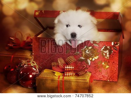Samoyed Puppy In A Christmas Box