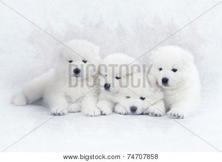 Four Samoyed Puppies